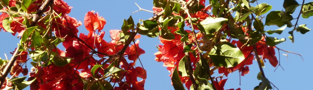 bougainville-boven-zwembad